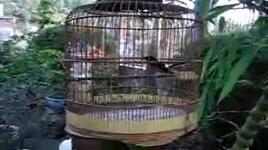 chim chich choe  - dang cap nhat